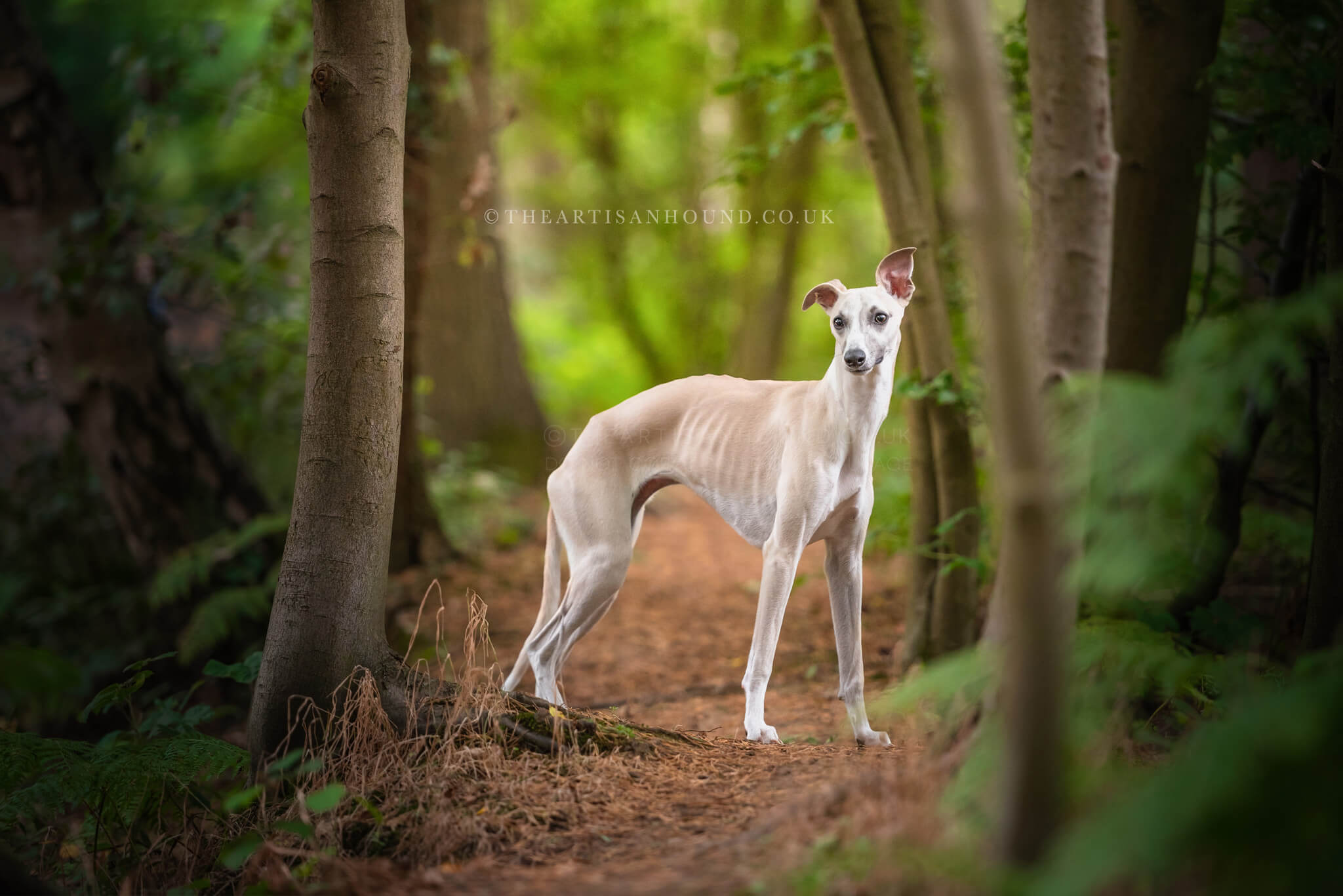 Whippet standing in Northampton woods