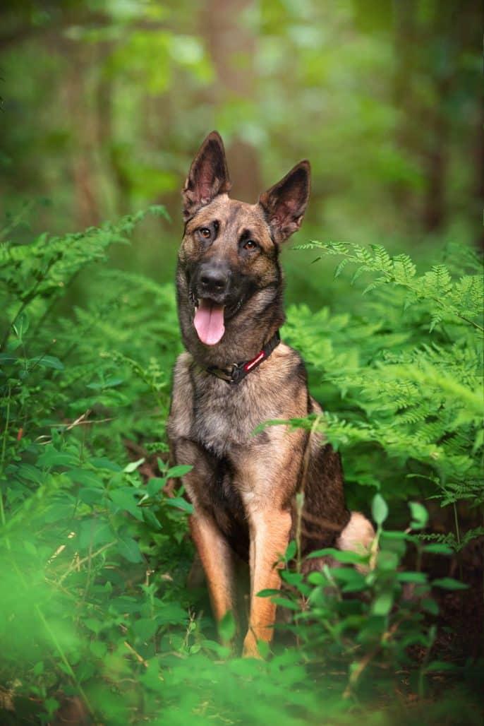 belgian malinois dog sitting in ferns