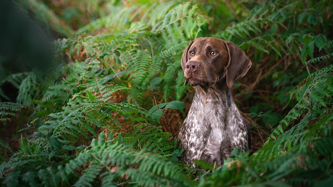 brown-gsp-dog-photography-Northamptonshire
