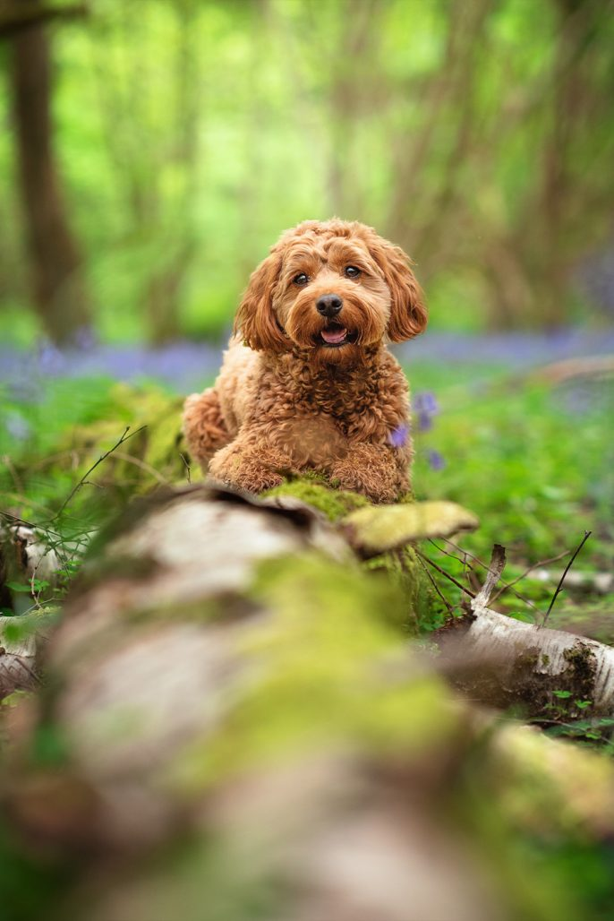 Cockapoo dog sitting on mossy log in Coventry woods