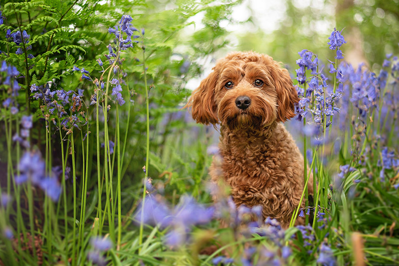 ginger cockapoo standing in bluebell woods