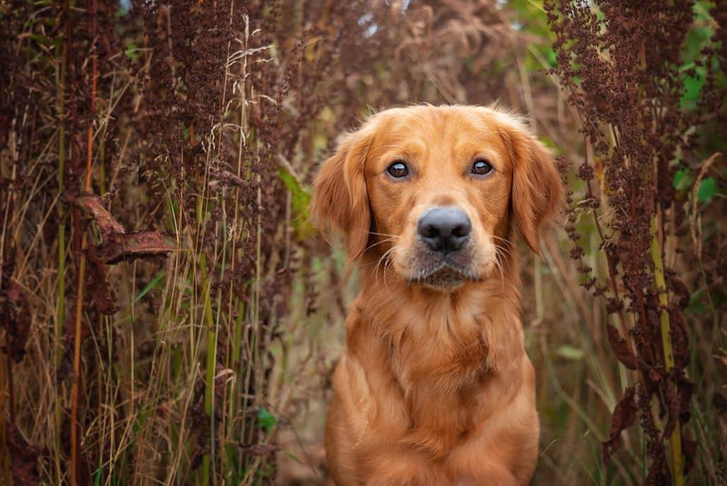 golden retriever dog photography Northampton