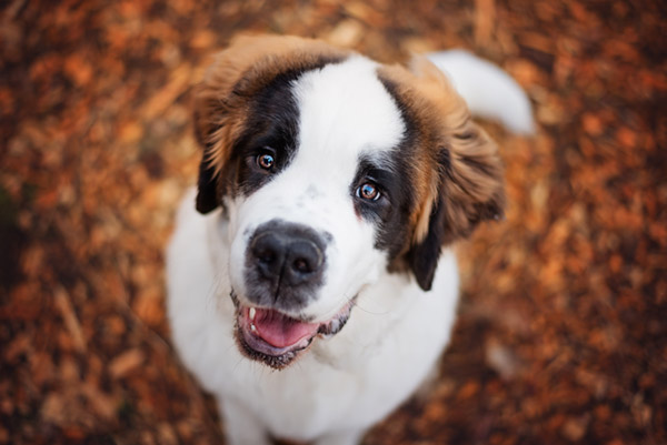 large St Bernard puppy looking up at viewer