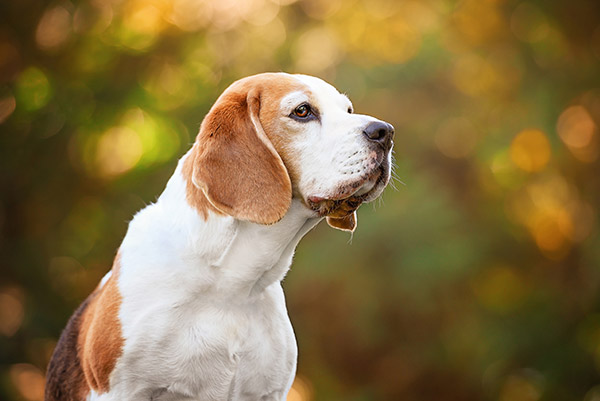 medium sized beagle dog outdoor portrait