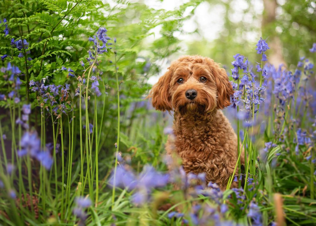 red cockapoo dog in coventry bluebell wood