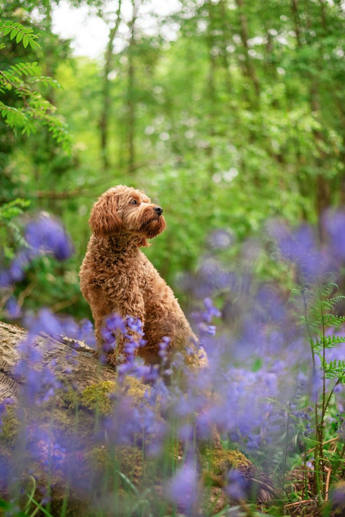 red cockapoo in blubell woods coventry