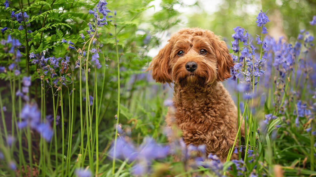 red-cockapoo-in-bluebell-woods-Coventry