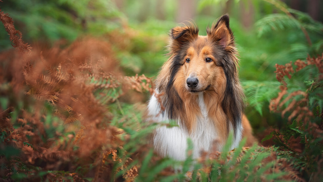 rough-collie-standing-in-autumn-ferns