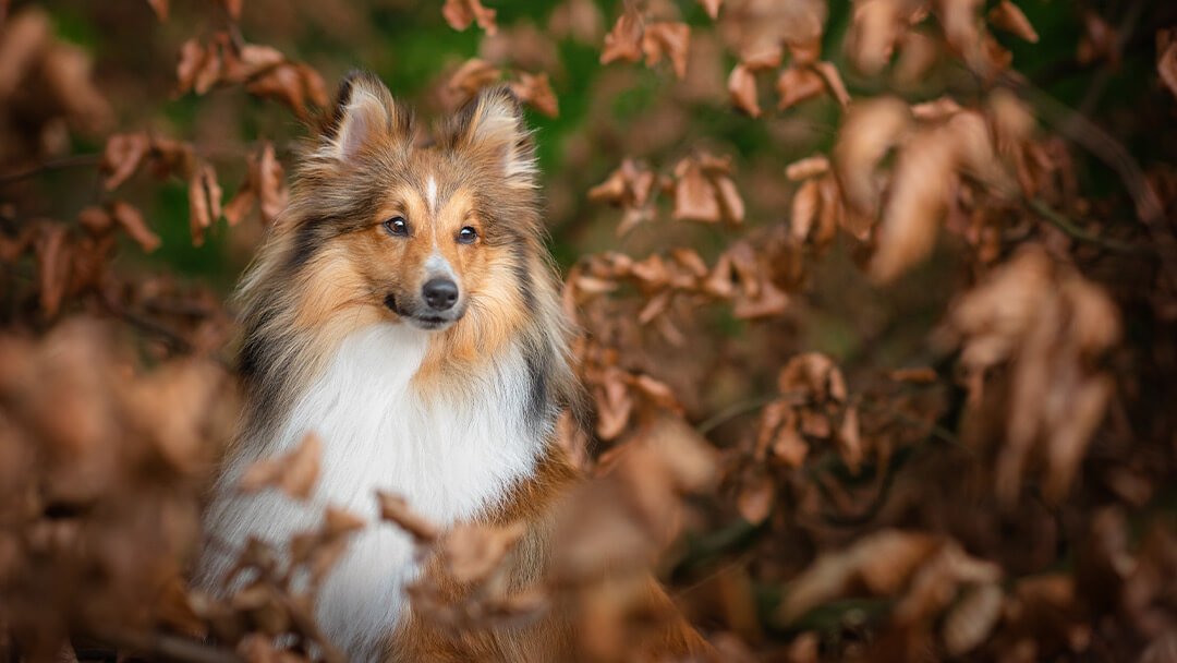 shetland-sheepdog-portrait-in-Northamptonshire-woodland