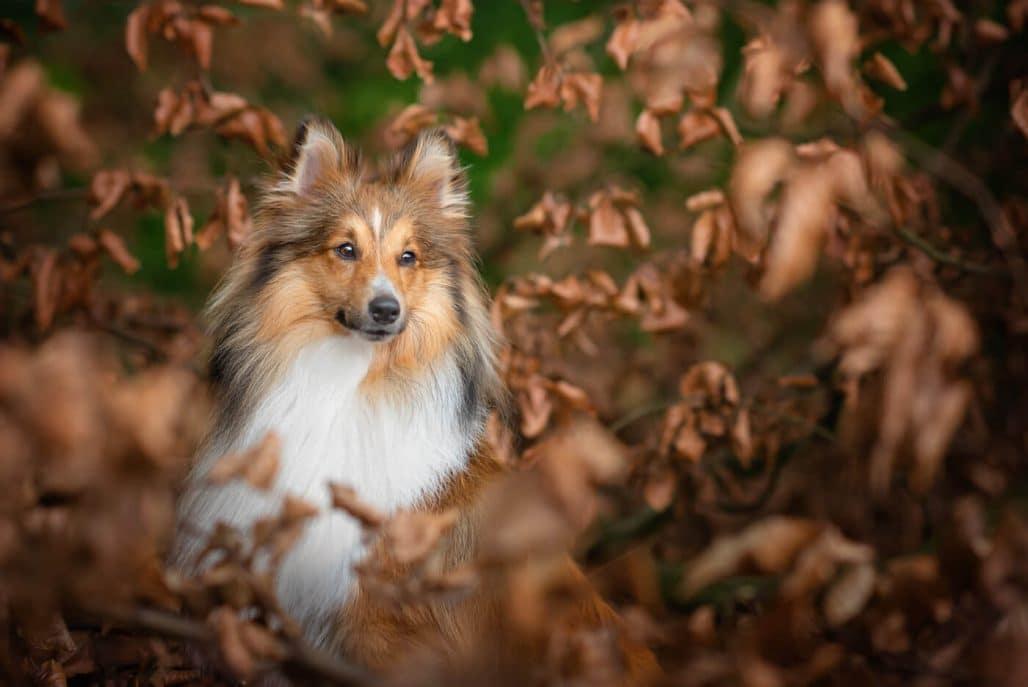 shetland sheepdog portrait in autumn woodland