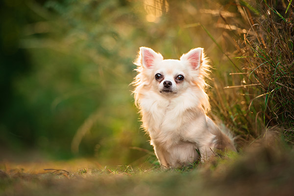 Small long-haired chihuahua sitting in field at sunset