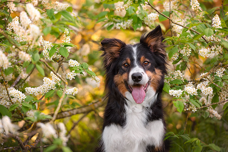 Tri-coloured Border Collie dog sitting under blossom tree