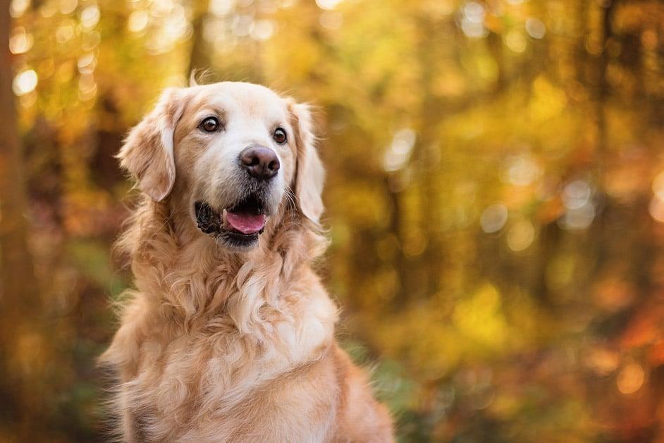 Golden Retriever dog portrait in autumn woodland
