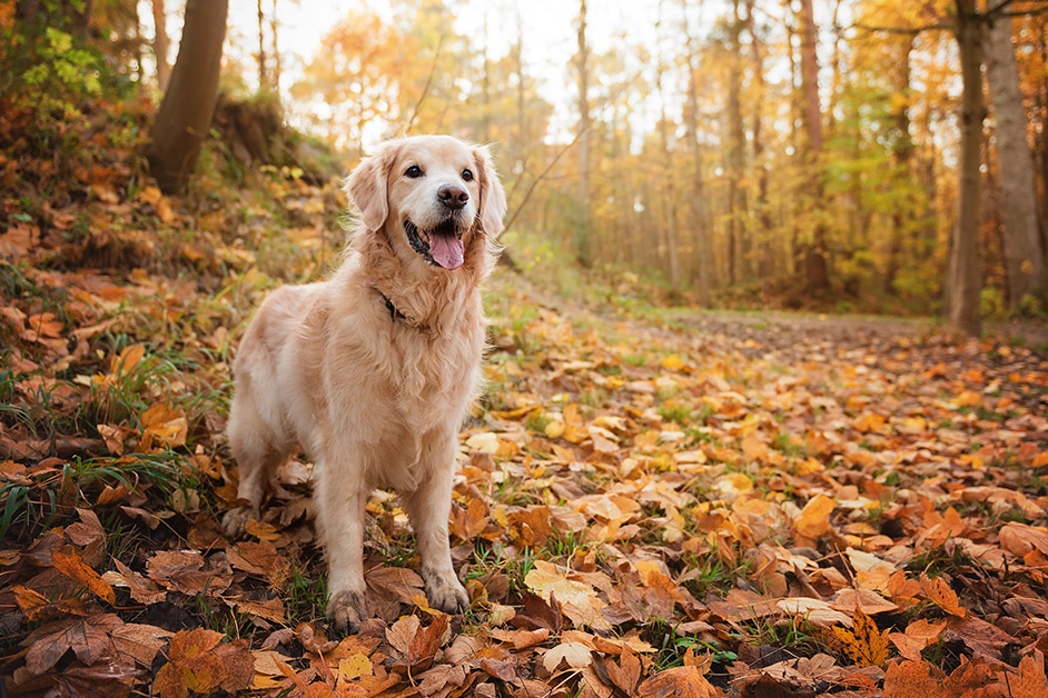 Golden Retriever dog standing in autumn leaves