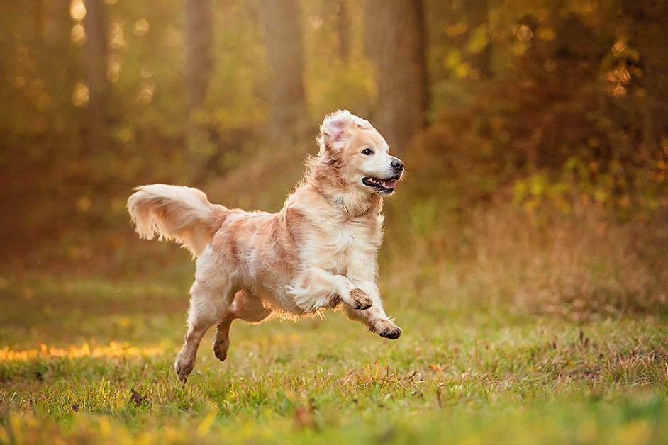 Golden Retriever running in country park