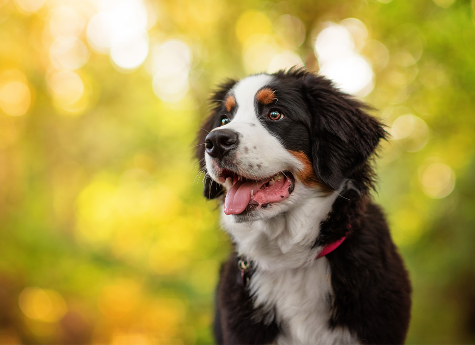 Bernese Mountain Dog puppy photography portrait