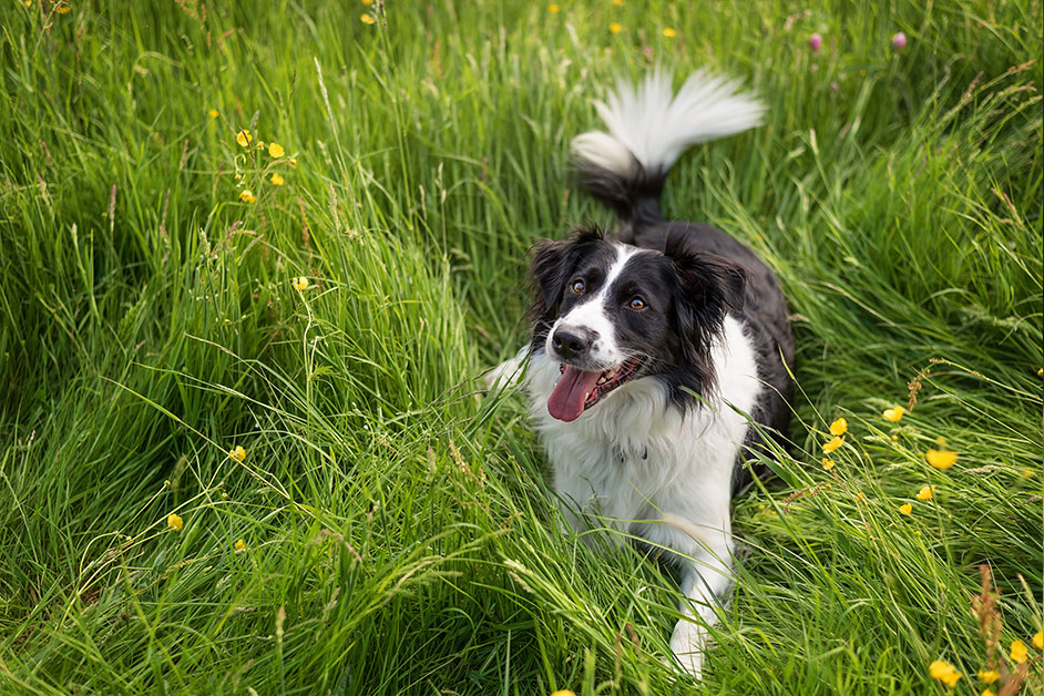 border-collie-dog-sitting-in-long-grass-looking-up