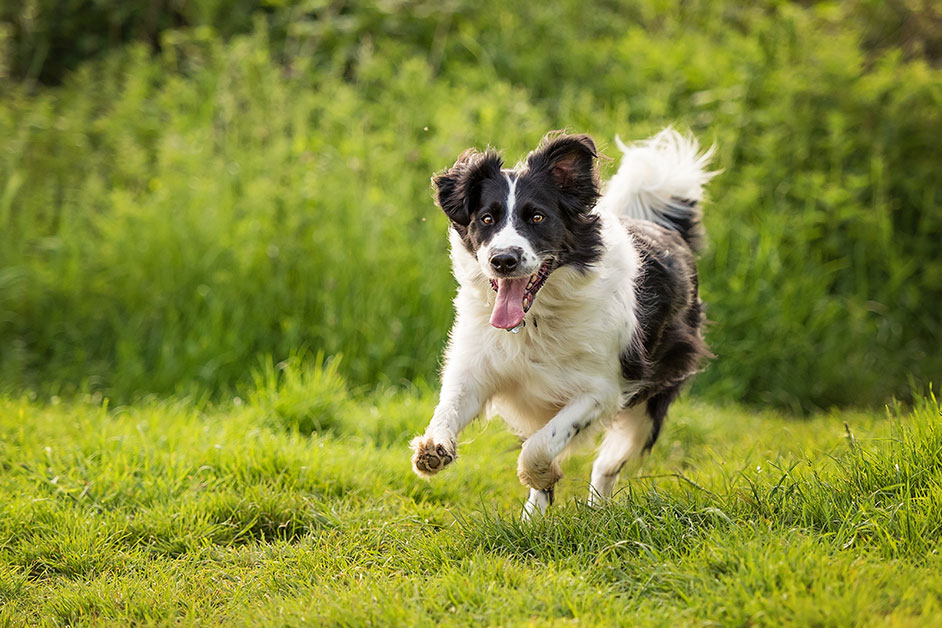 border-collie-running-through-summer-meadow