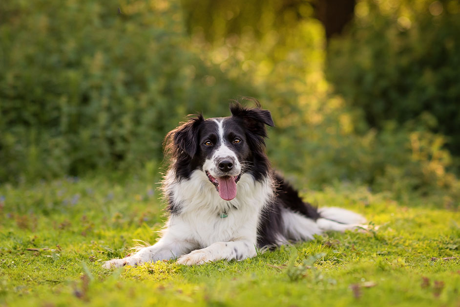 border-collie-sitting-in-field