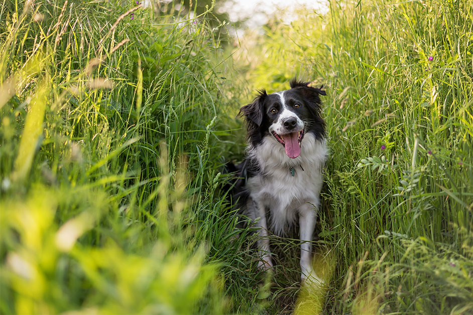 border-collie-sitting-in-reeds