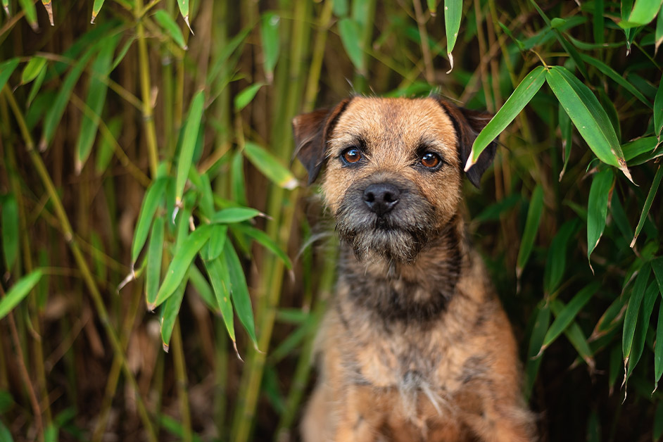border terrier dog sitting in bamboo bushes