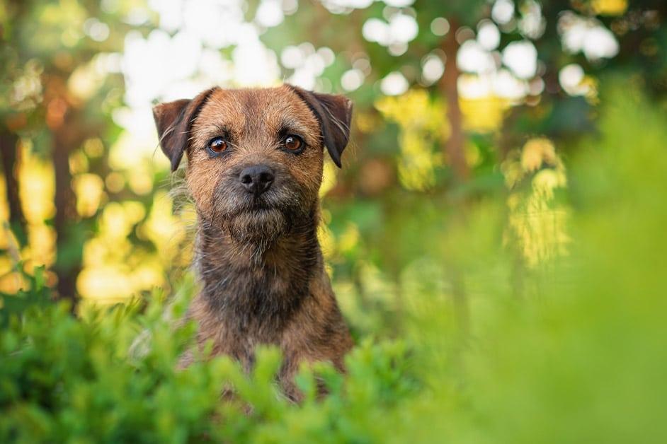border terrier dog sitting in garden bushes