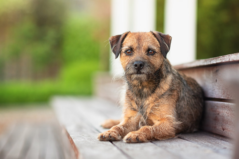 border terrier lying on garden steps