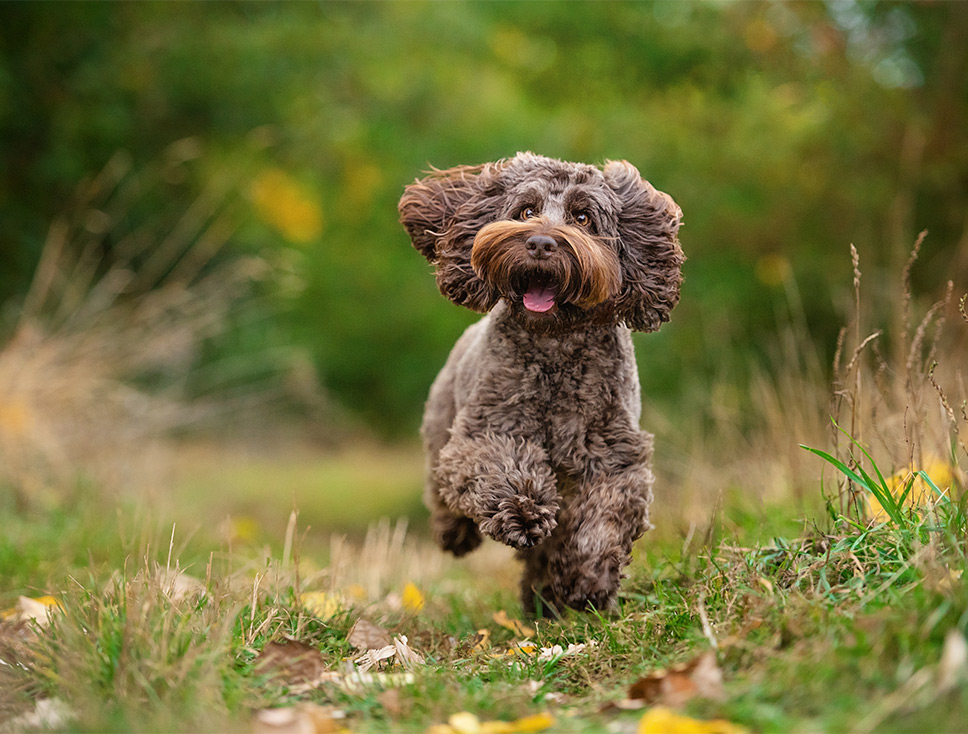 Brown Cockapoo running in the park
