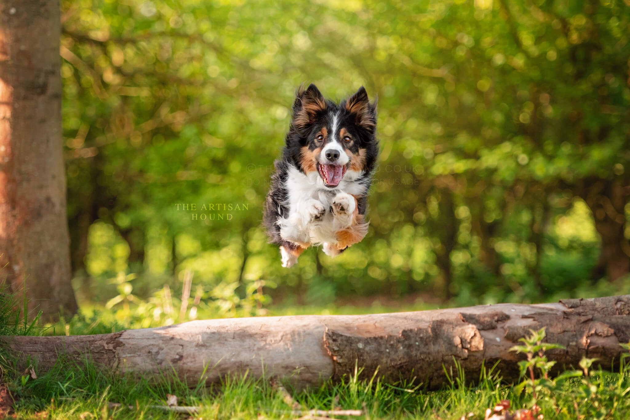 Border Collie dog leaping over log in Northampton park