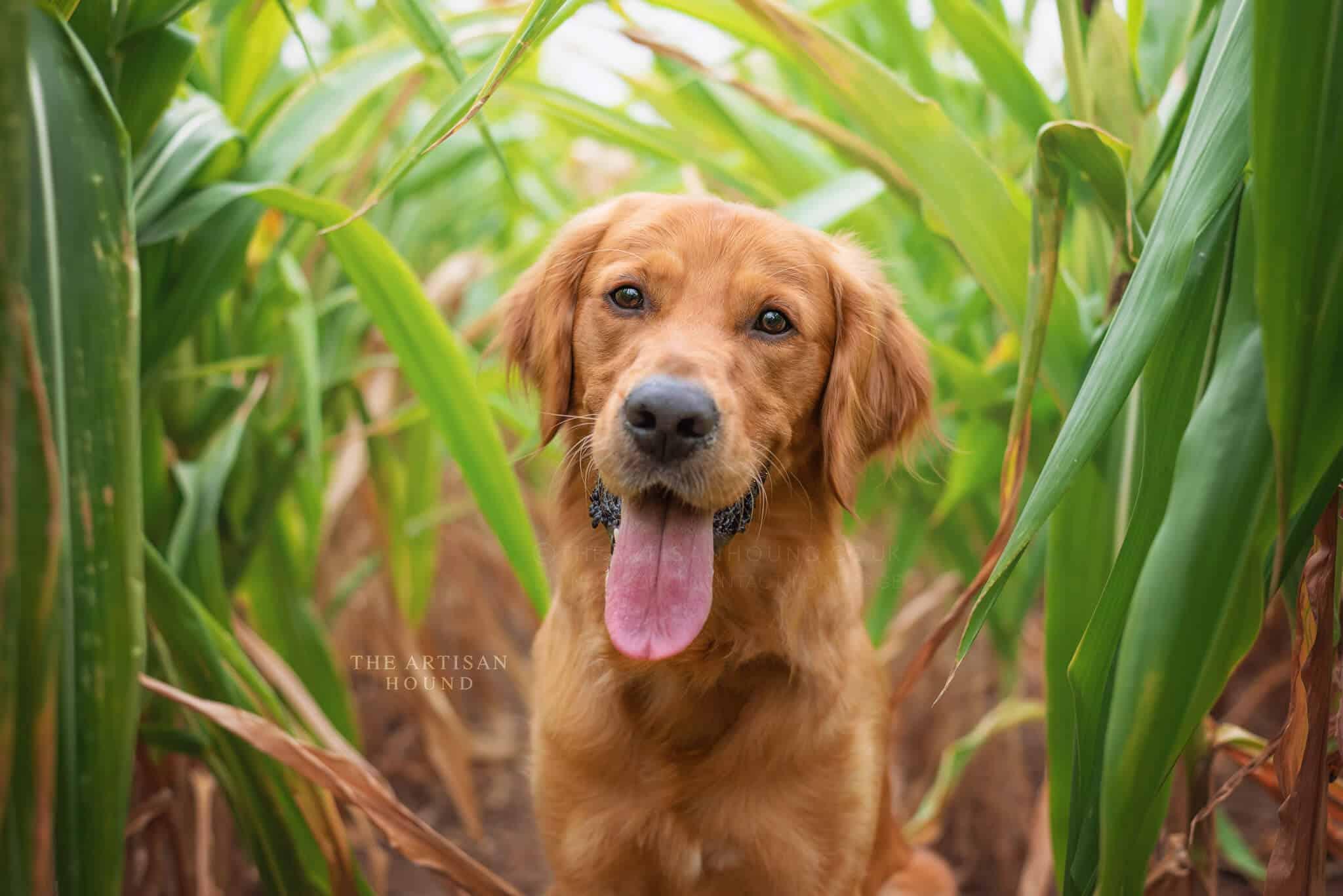 Golden Retriever dog standing in cornfield