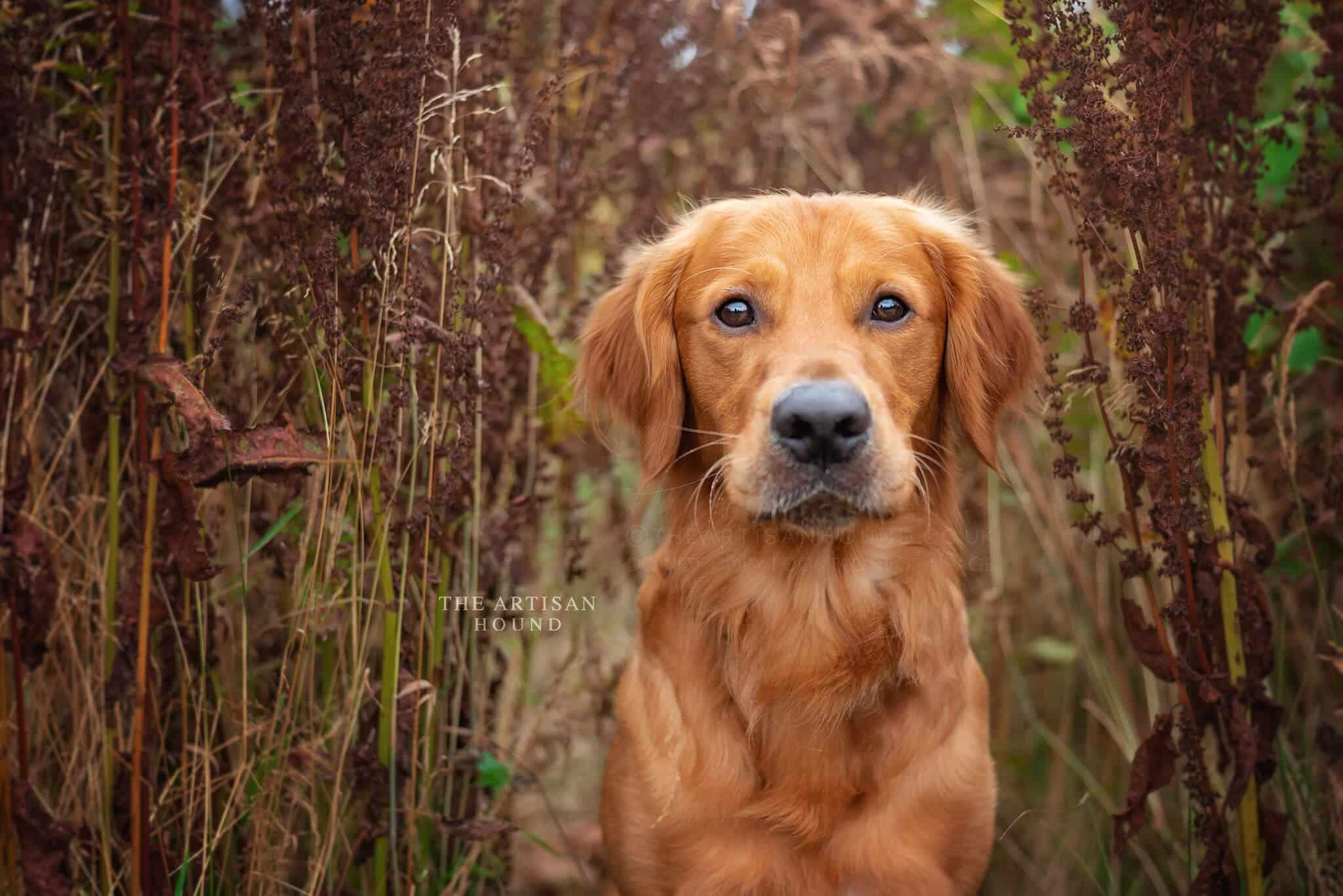 Golden dog sitting in tall summer grass