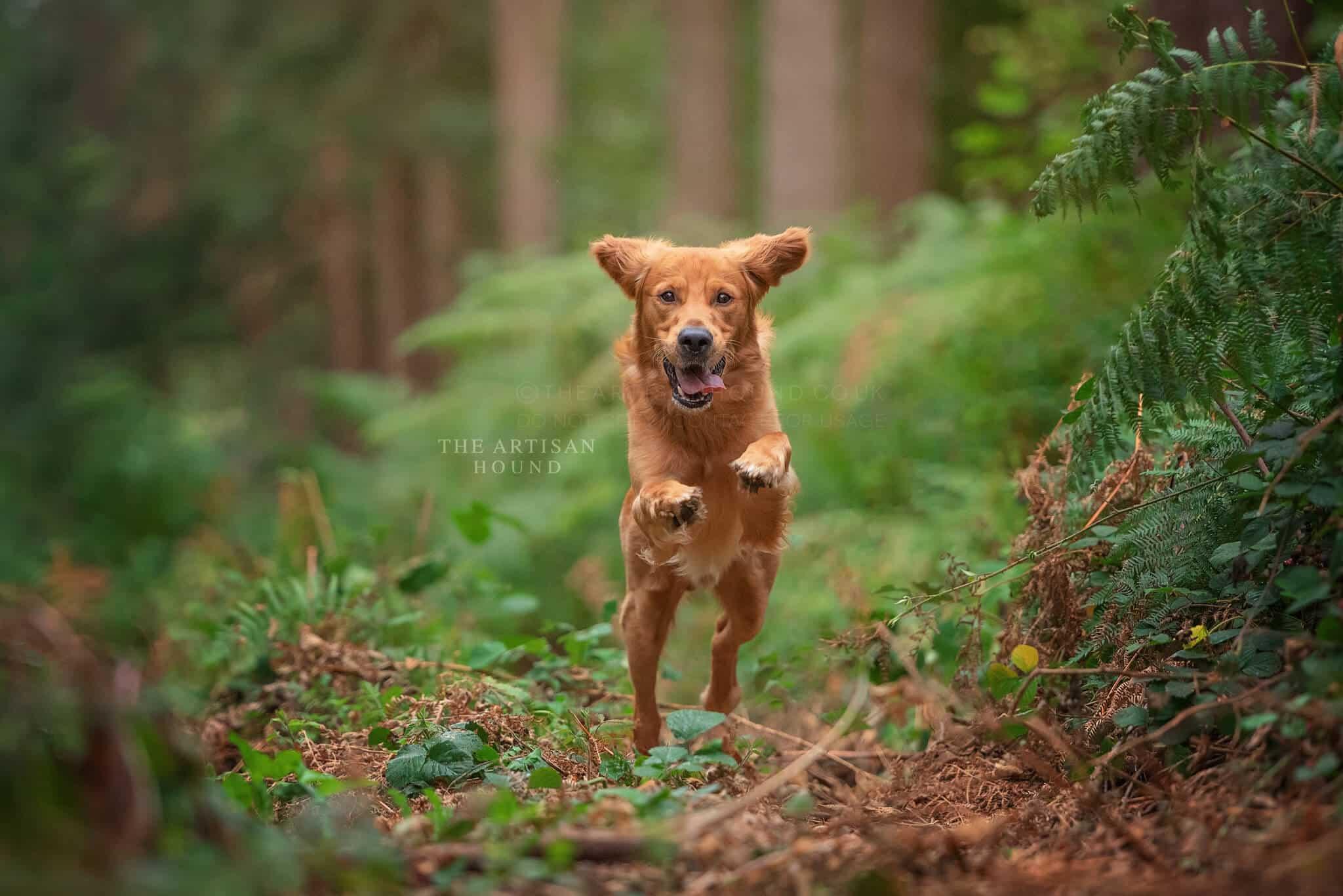 Golden Retriever dog leaping through bracken in woods