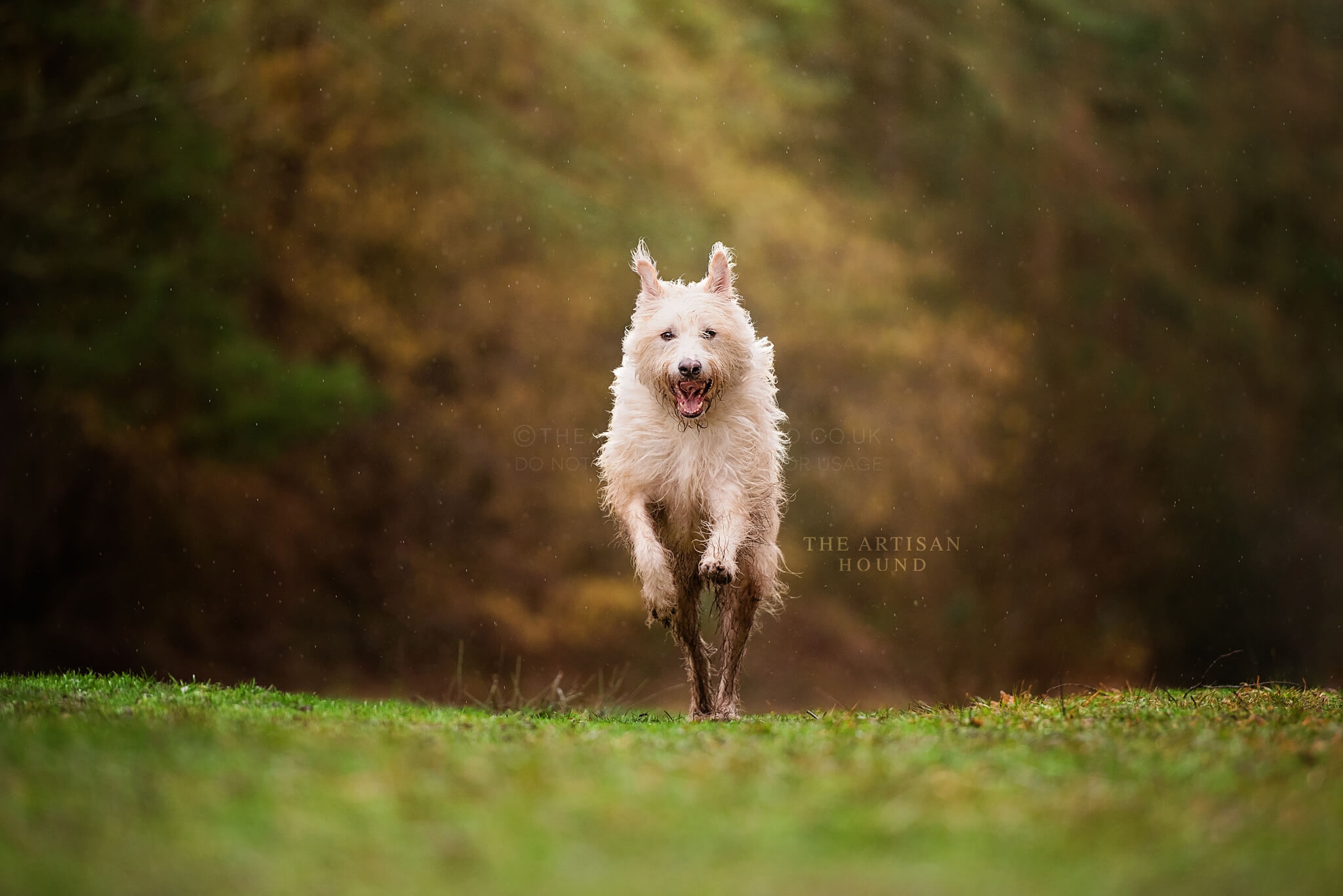 Scriffy dog running across field in Northamptonshire