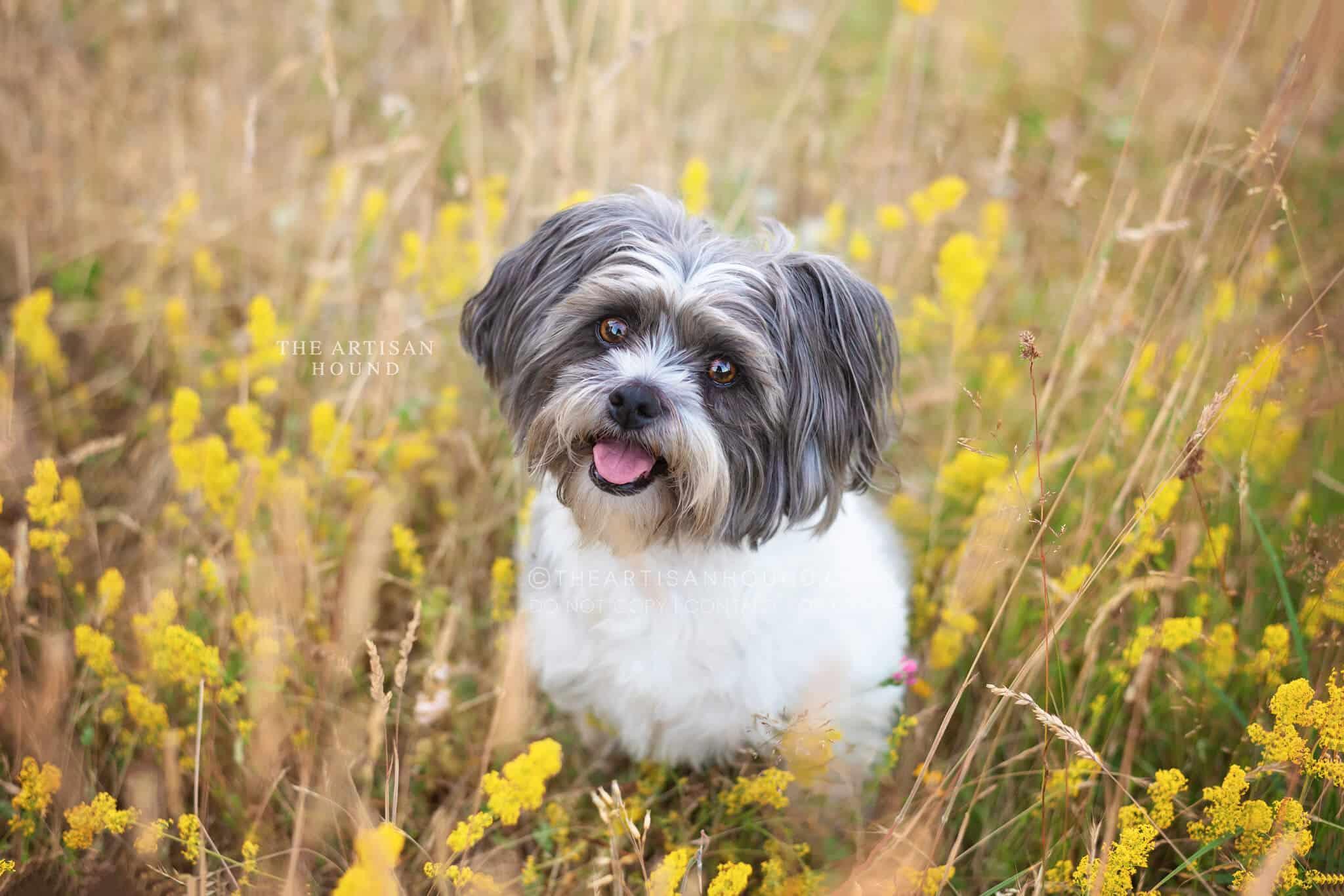 Bichon cross breed sitting in yellow meadow flowers