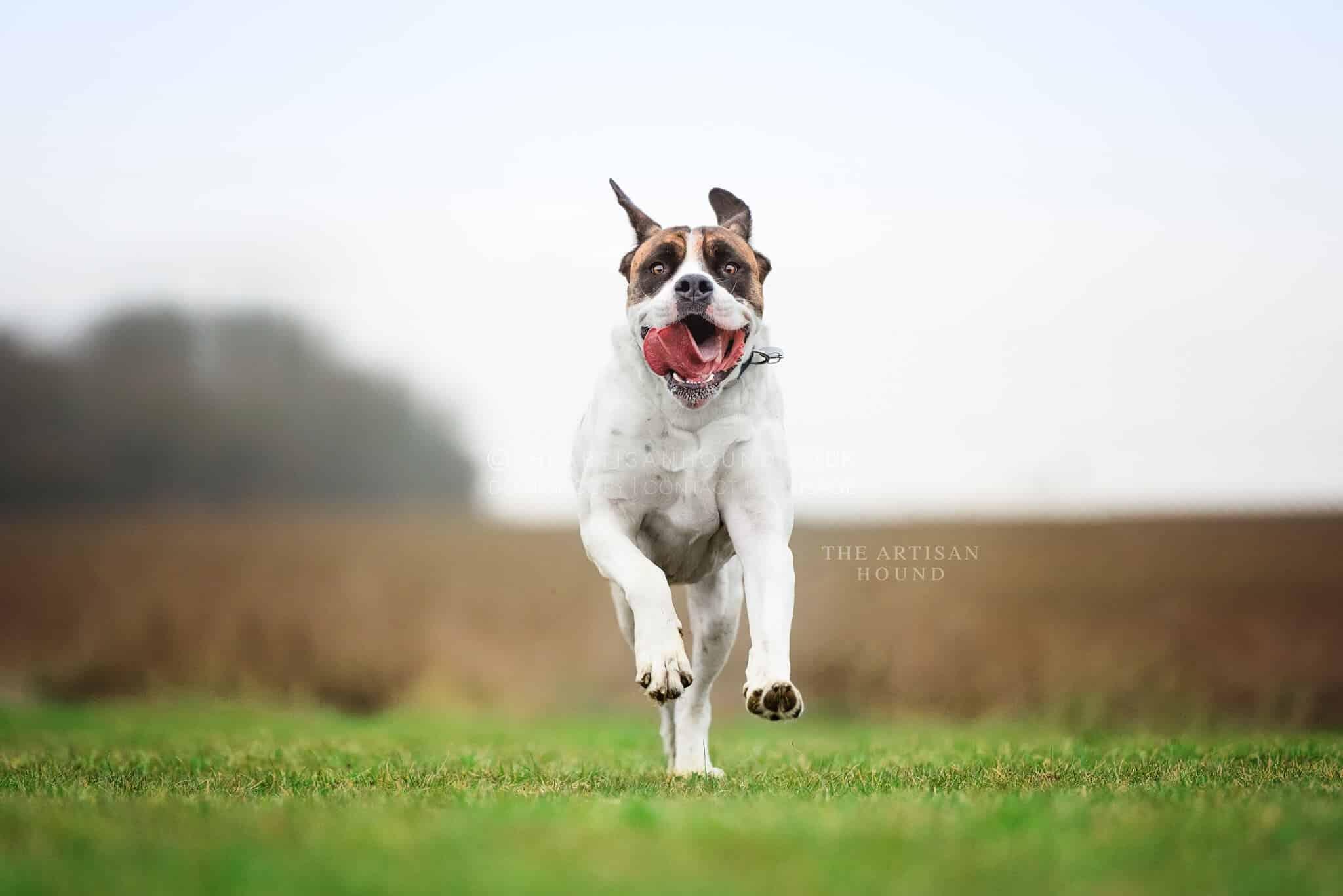 American Bulldog running across field near Northampton
