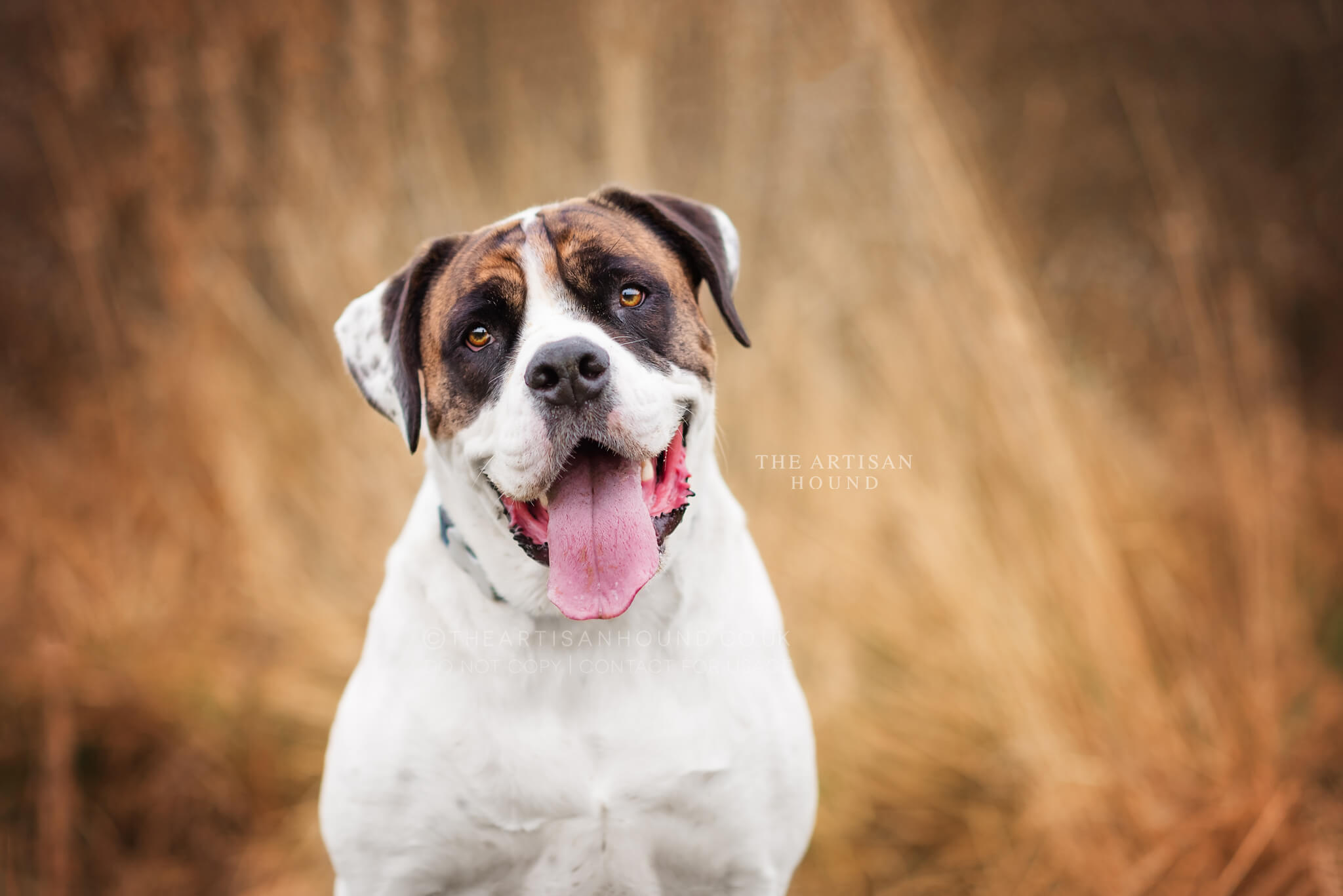 Bulldog sitting in front of grass looking at camera