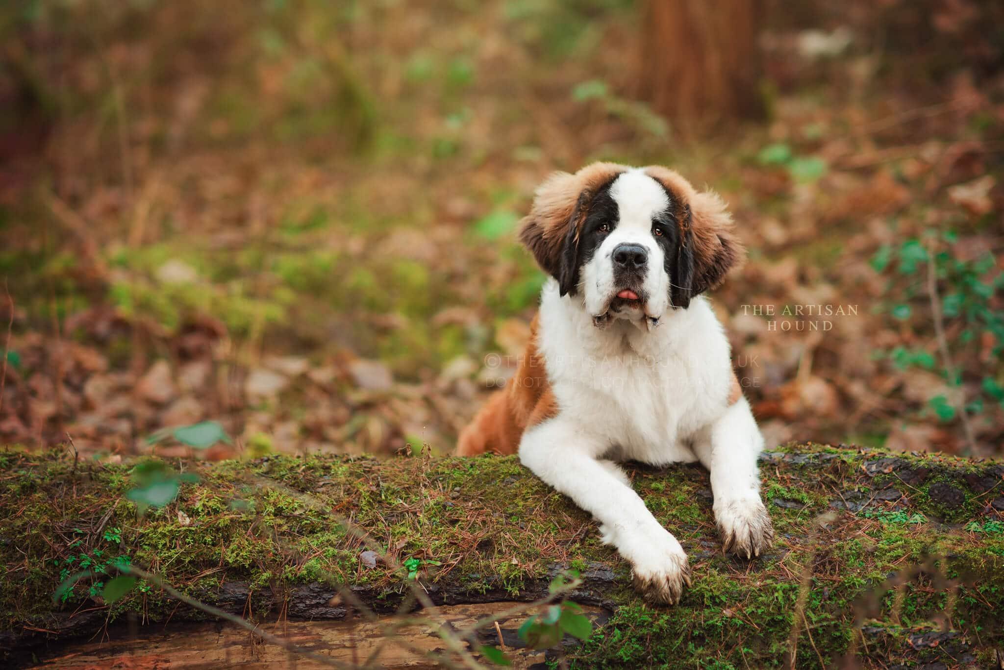 St Bernard puppy sitting on log in woods
