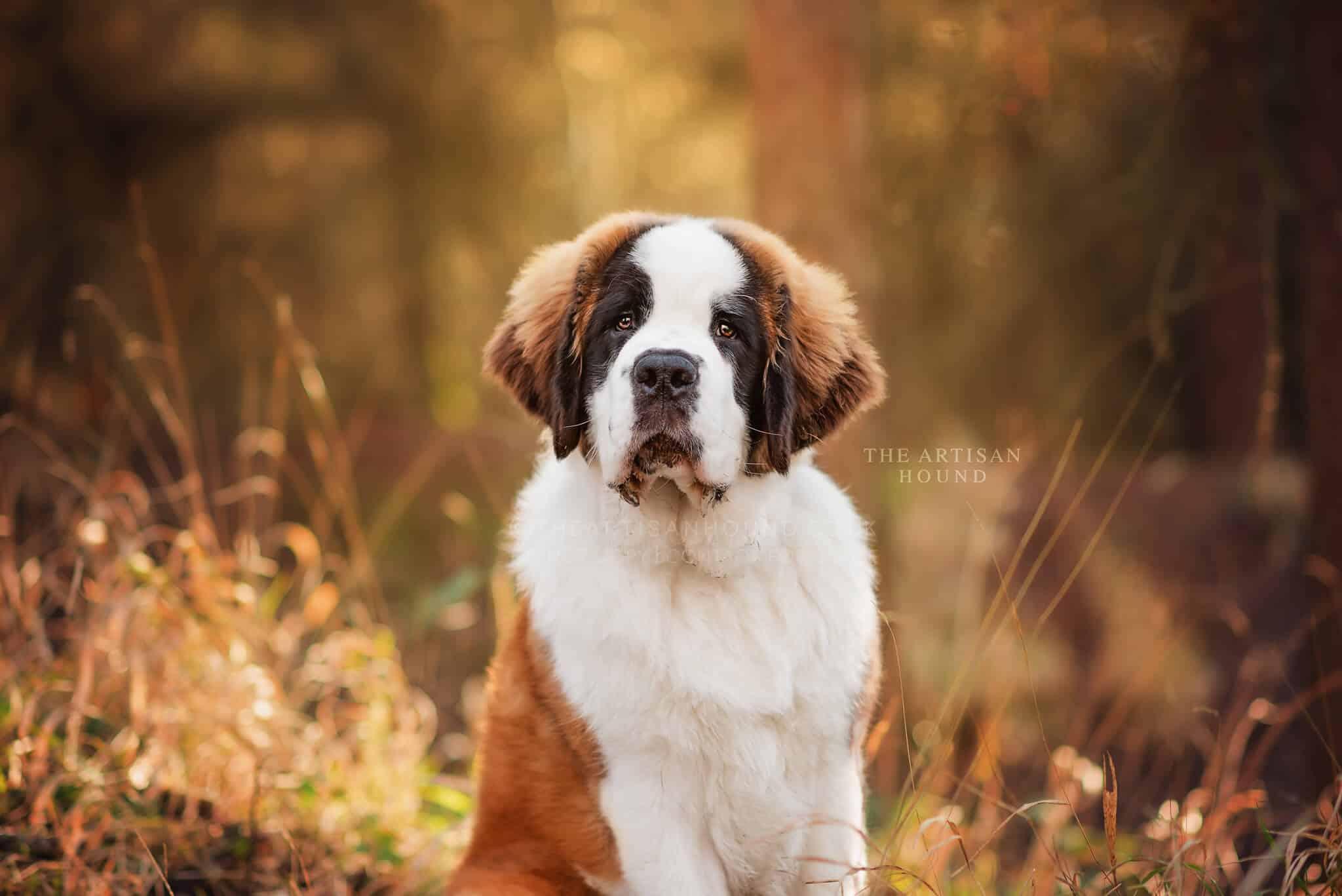 Portrait of St Bernard puppy