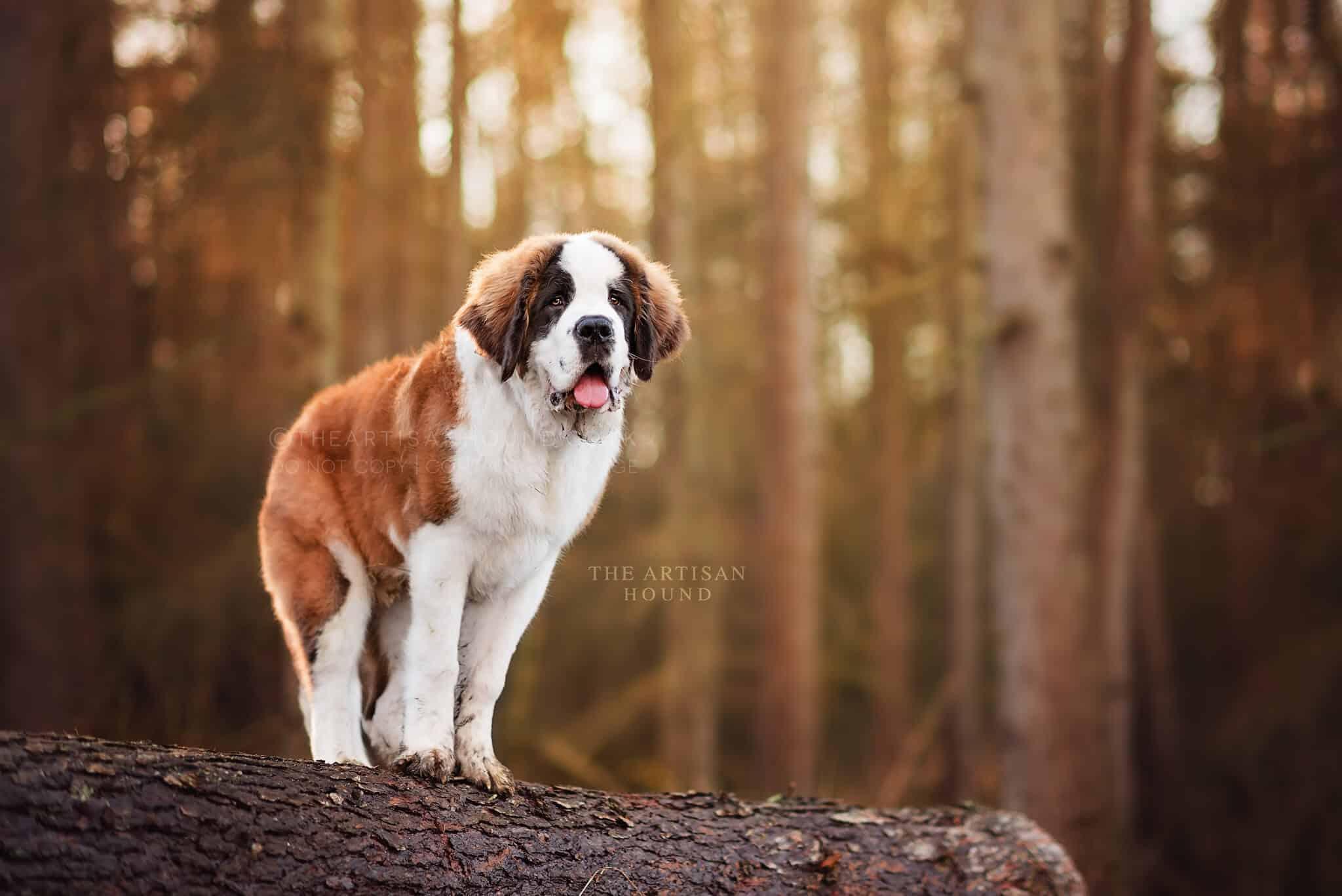 St Bernard puppy standing on log pile in Irchester woodlands