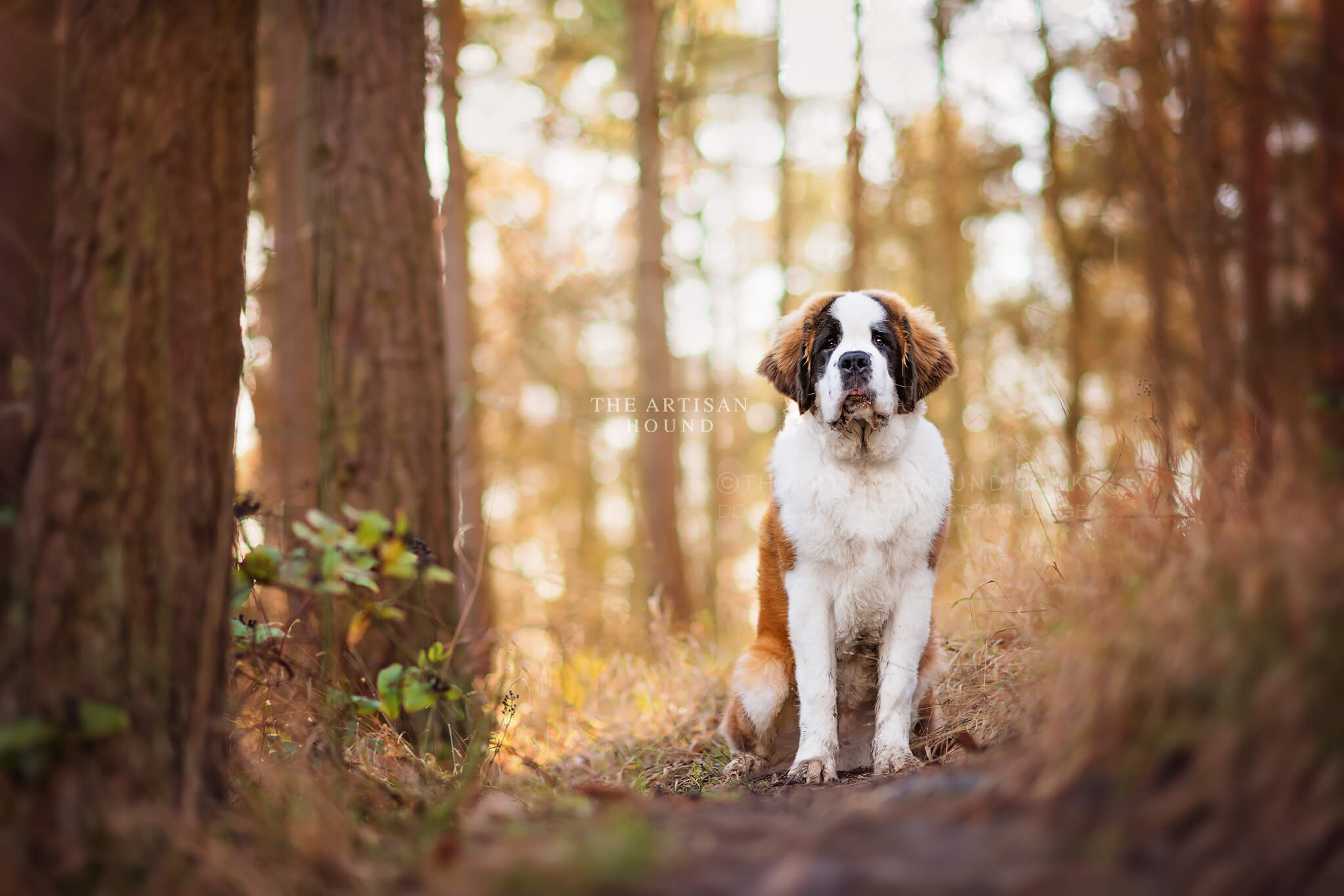 St Bernard dog sitting on path in Northamptonshire woodland