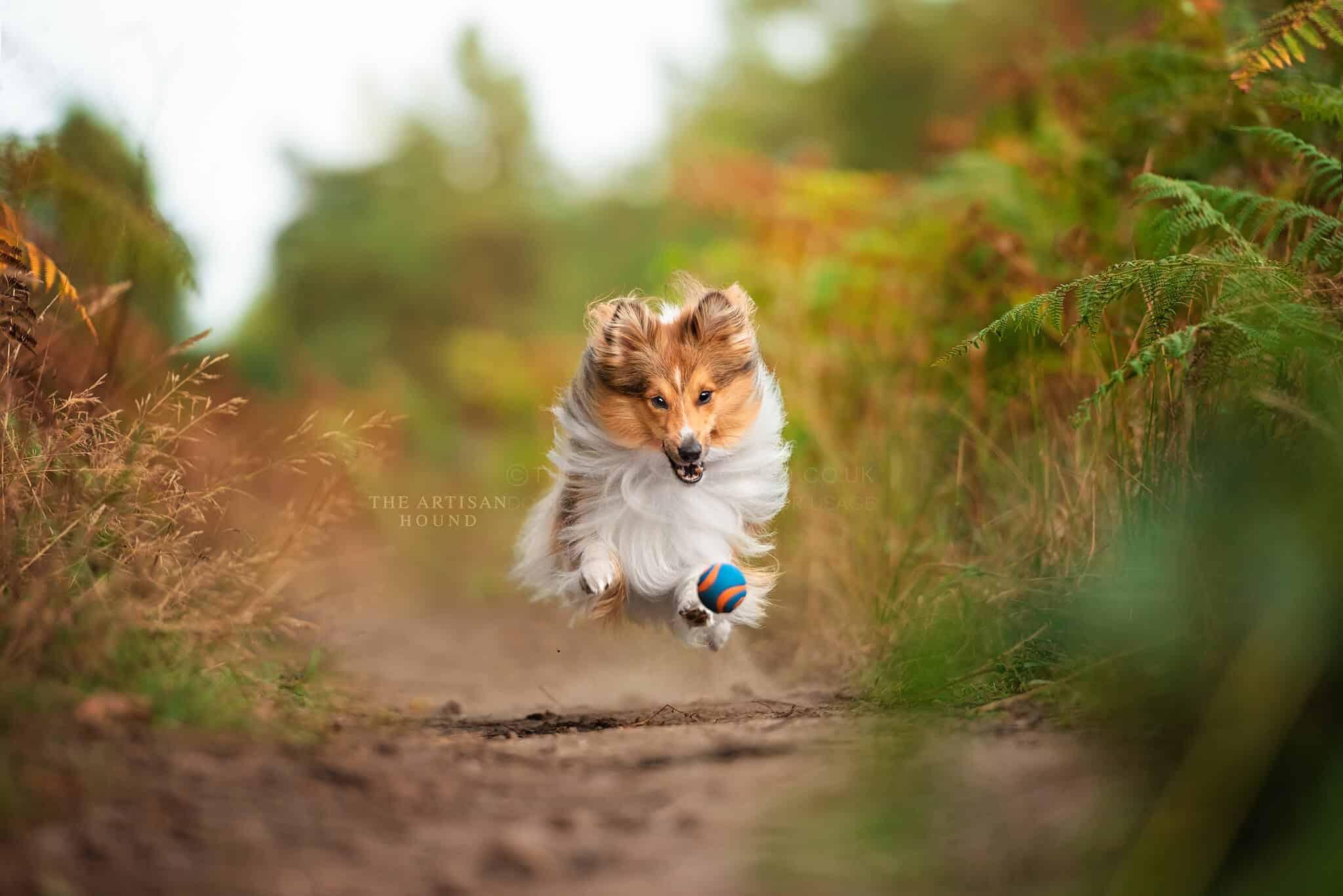 Shetland Sheepdog chasing ball through woods