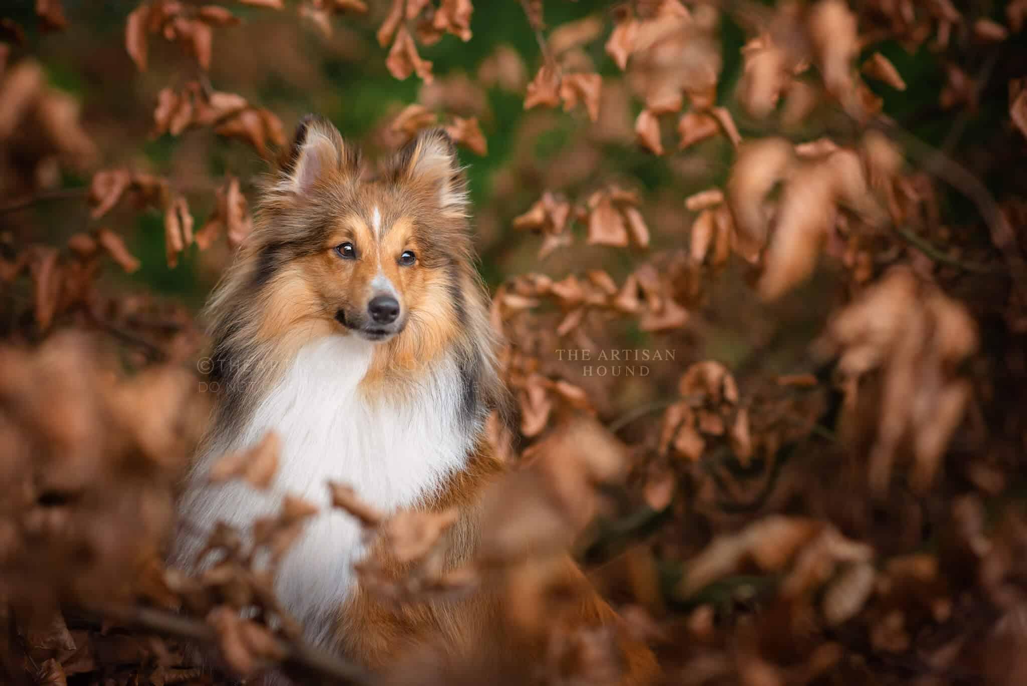 Shetland Sheepdog portrait photography in autumn leaves