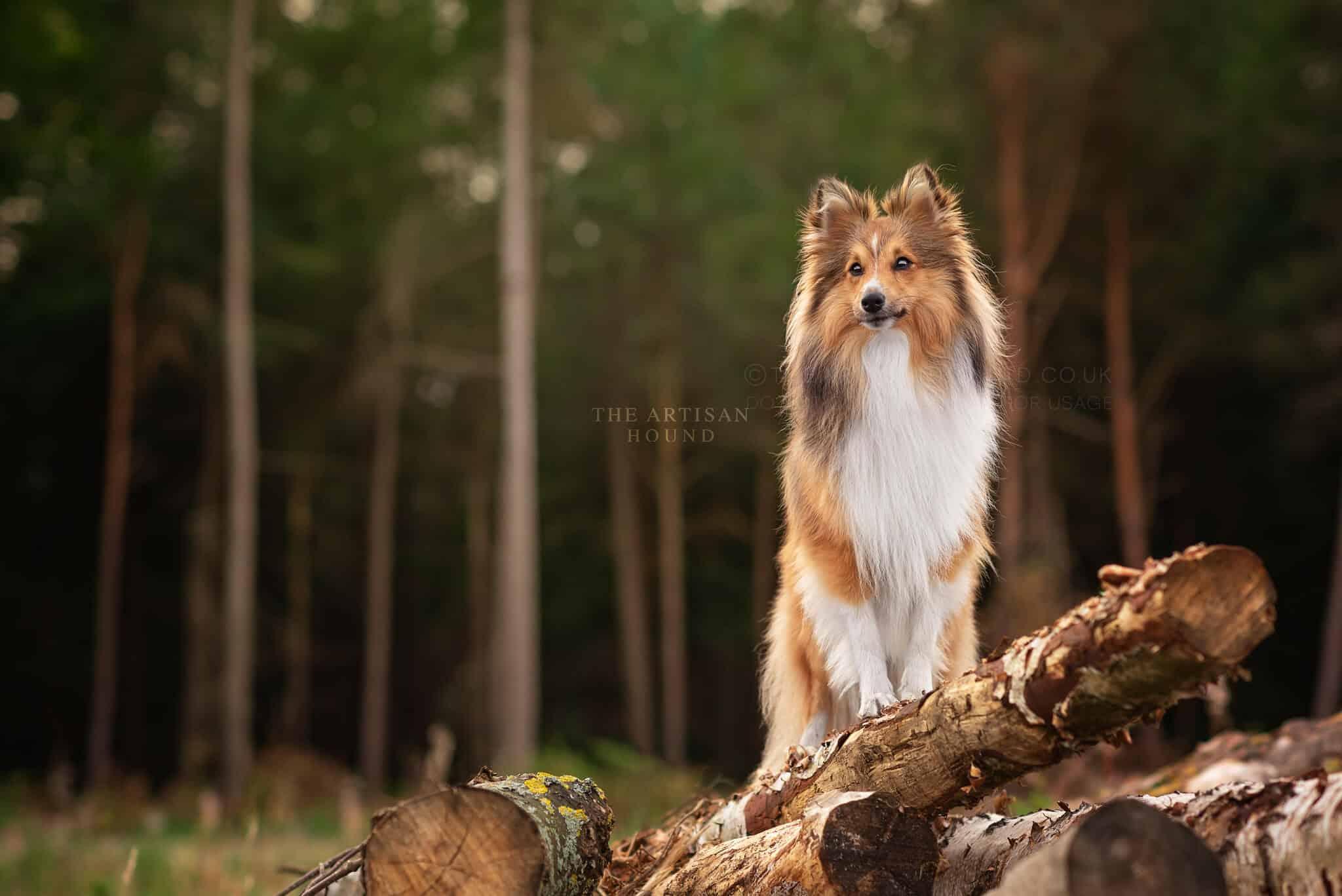 Fluffy Sheltie dog standing on pile of logs