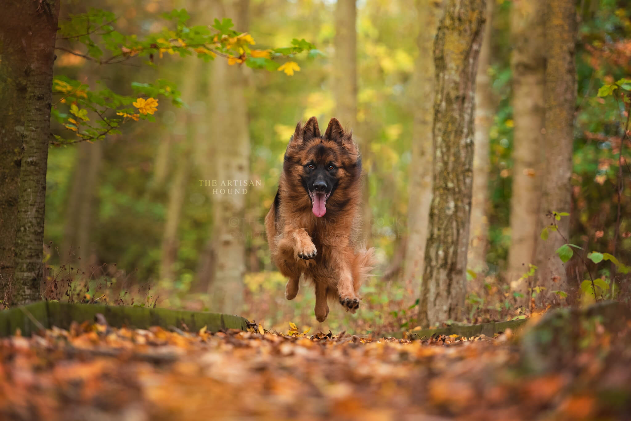 German Shepherd running through autumn woodlands in Northamptonshire