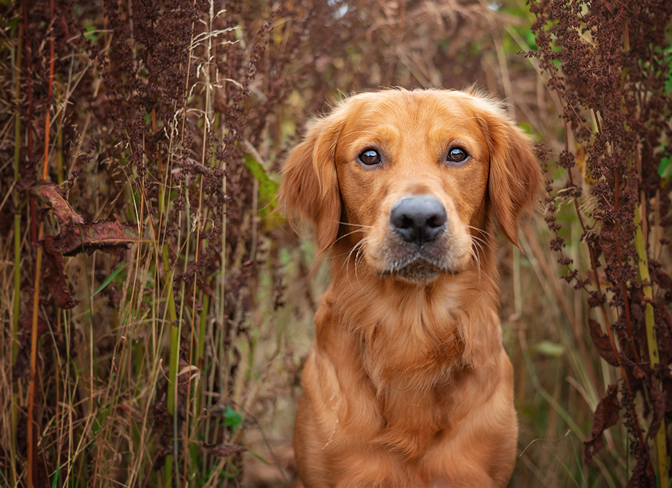 Golden Retriever dog sitting in bushes