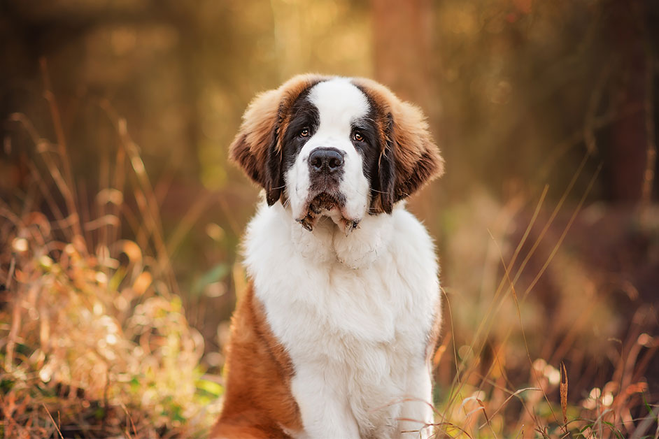 portrait-photograph-of-st-bernard-puppy-in-woods