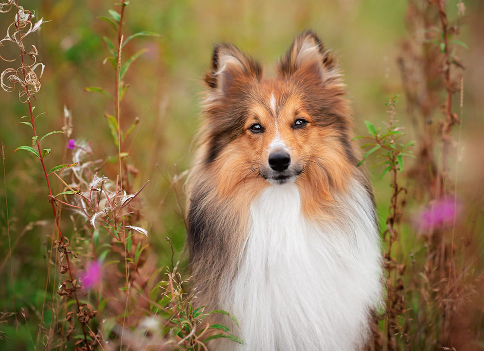 Sheltie sitting in wild flowers