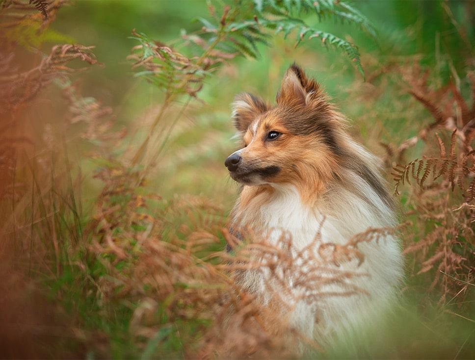 Shetland Sheepdog hiding in ferns
