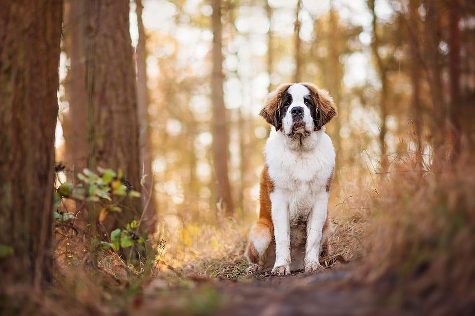 st-bernard-dog-sitting-on-woodland-path-in-winter