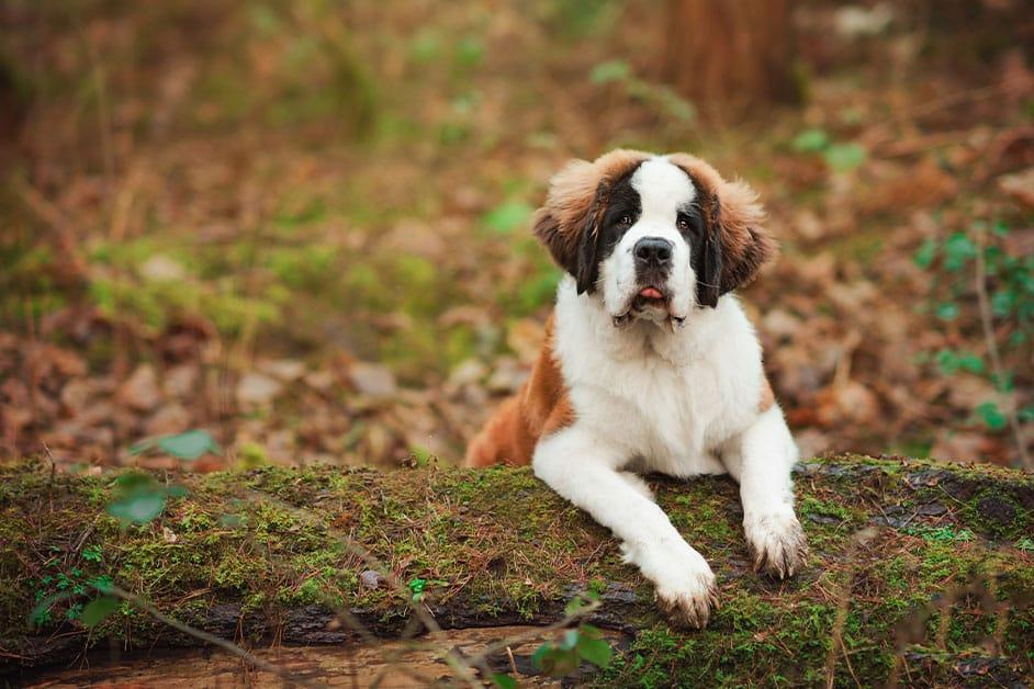 st-bernard-puppy-sitting-on-moss-covered-log